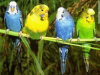Parakeet Birds for sale in San Diego, CA, USA. price: NA