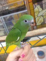 Parakeet Birds for sale in Anaheim, CA, USA. price: NA