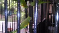 Parakeet Birds for sale in Miami, FL, USA. price: NA