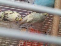 Parakeet Birds for sale in Needville, TX 77461, USA. price: NA