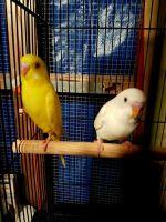 Parakeet Birds for sale in Northwest Houston, Houston, TX, USA. price: NA