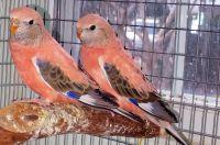 Parakeet Birds for sale in Fairfax, VA, USA. price: NA