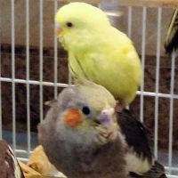 Parakeet Birds for sale in Rockaway, NJ 07866, USA. price: NA