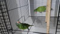 Parakeet Birds for sale in Denver, CO 80229, USA. price: NA