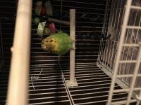 Parakeet Birds for sale in Garfield, NJ 07026, USA. price: NA
