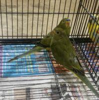 Parakeet Birds for sale in Orange, CA, USA. price: NA