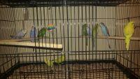 Parakeet Birds for sale in Milwaukee, WI 53214, USA. price: NA