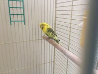 Parakeet Birds for sale in Lakewood, CO, USA. price: NA