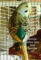 Parakeet Birds for sale in Mont Belvieu, TX, USA. price: NA