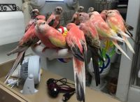 Parakeet Birds for sale in 7243 Kelvin Ave, Winnetka, CA 91306, USA. price: NA