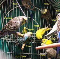 Parakeet Birds for sale in Tulsa, OK 74105, USA. price: NA