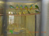 Parakeet Birds for sale in Troutville, VA 24175, USA. price: NA