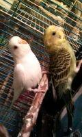 Parakeet Birds for sale in Liberty, SC 29657, USA. price: NA