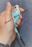 Parakeet Birds for sale in Aylett, VA, USA. price: NA