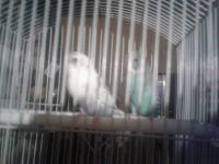 Parakeet Birds for sale in San Antonio, TX, USA. price: NA