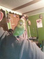 Parakeet Birds for sale in Star City, IN 46985, USA. price: NA