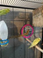 Parakeet Birds for sale in Rochester, NY 14621, USA. price: NA