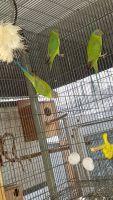 Parakeet Birds for sale in San Fernando, CA, USA. price: NA