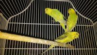 Parakeet Birds for sale in Garden City, MI 48135, USA. price: NA