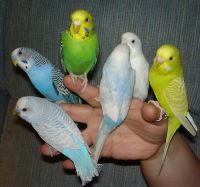 Parakeet Birds for sale in Baltimore, MD, USA. price: NA