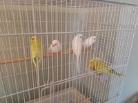 Parakeet Birds for sale in Bloomington, IN, USA. price: NA