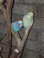 Parakeet Birds for sale in Grifton, NC, USA. price: NA
