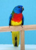 Parakeet Birds for sale in Jacksonville, FL, USA. price: NA