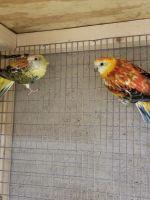 Parakeet Birds for sale in Lake Villa, IL, USA. price: NA
