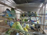 Parakeet Birds for sale in Kissimmee, FL, USA. price: NA