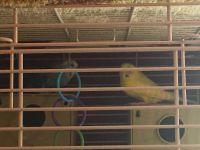 Parakeet Birds for sale in Blountsville, AL 35031, USA. price: NA