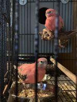 Parakeet Birds for sale in Syracuse, NY, USA. price: NA