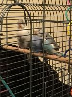 Parakeet Birds for sale in Bloomington, IL, USA. price: NA