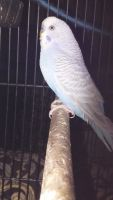 Parakeet Birds for sale in Munster, IN, USA. price: NA