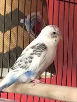 Parakeet Birds for sale in Yukon, OK, USA. price: NA