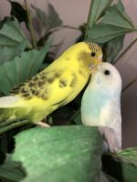 Parakeet Birds for sale in Mounds View, MN 55112, USA. price: NA