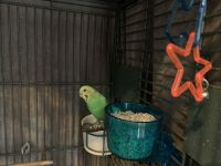 Parakeet Birds for sale in Uniontown, OH 44685, USA. price: NA