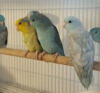 Parakeet Birds for sale in Grovetown, GA 30813, USA. price: NA