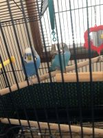 Parakeet Birds for sale in Holland, MI 49423, USA. price: NA
