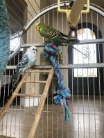 Parakeet Birds for sale in Chandler, AZ, USA. price: NA
