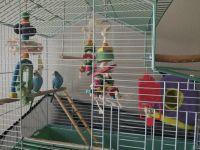 Parakeet Birds for sale in Olympia, WA, USA. price: NA