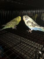 Parakeet Birds for sale in 630 Timberlake 1 Cir, Seneca, SC 29678, USA. price: NA