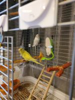 Parakeet Birds for sale in Chardon, OH 44024, USA. price: NA