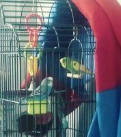 Parakeet Birds for sale in Covington, KY, USA. price: NA