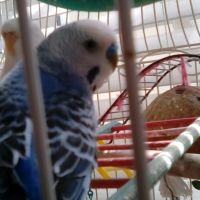 Parakeet Birds for sale in 1204 Stonehedge Trail Ln, St. Augustine, FL 32092, USA. price: NA