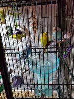 Parakeet Birds for sale in Ottawa Lake, MI 49267, USA. price: NA