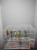 Parakeet Birds for sale in Eagle Mountain, UT, USA. price: NA
