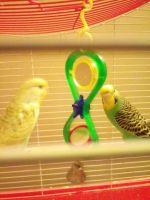 Parakeet Birds for sale in Three Rivers, MI 49093, USA. price: NA