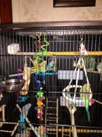 Parakeet Birds for sale in Greenfield, MA 01301, USA. price: NA