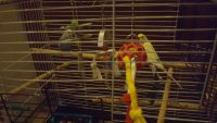 Parakeet Birds for sale in Rochester, MN, USA. price: NA