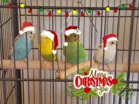 Parakeet Birds for sale in El Paso, AR 72045, USA. price: NA